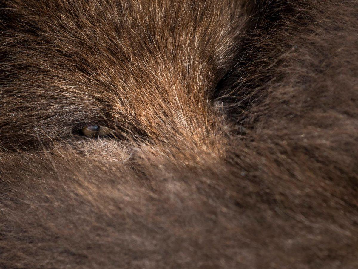 A 'Blue Morph' Arctic Fox taken on my Ic...