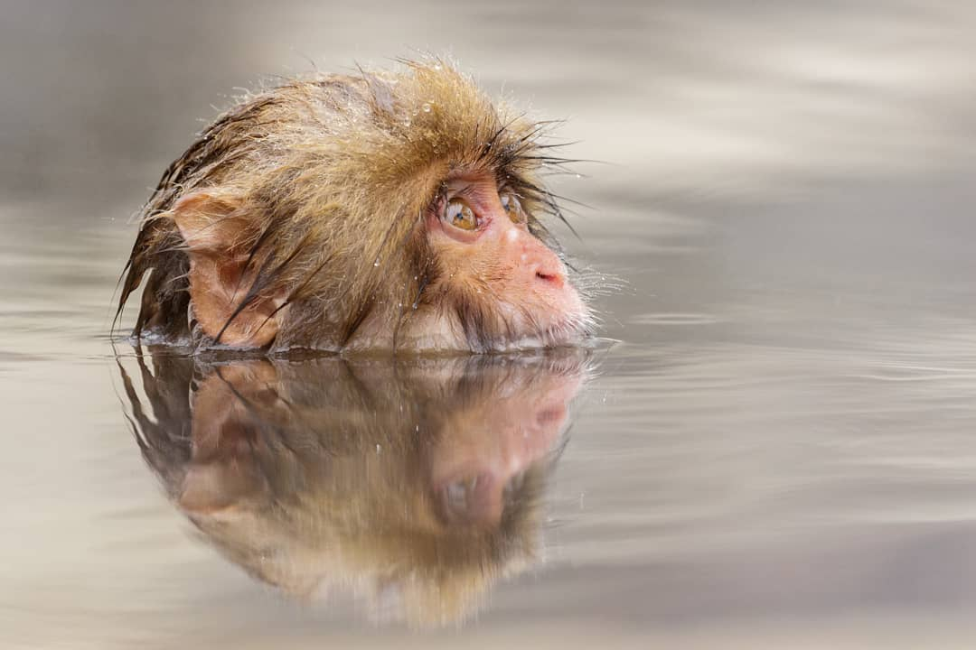 A Japanese Macaque enjoying a dip in the...
