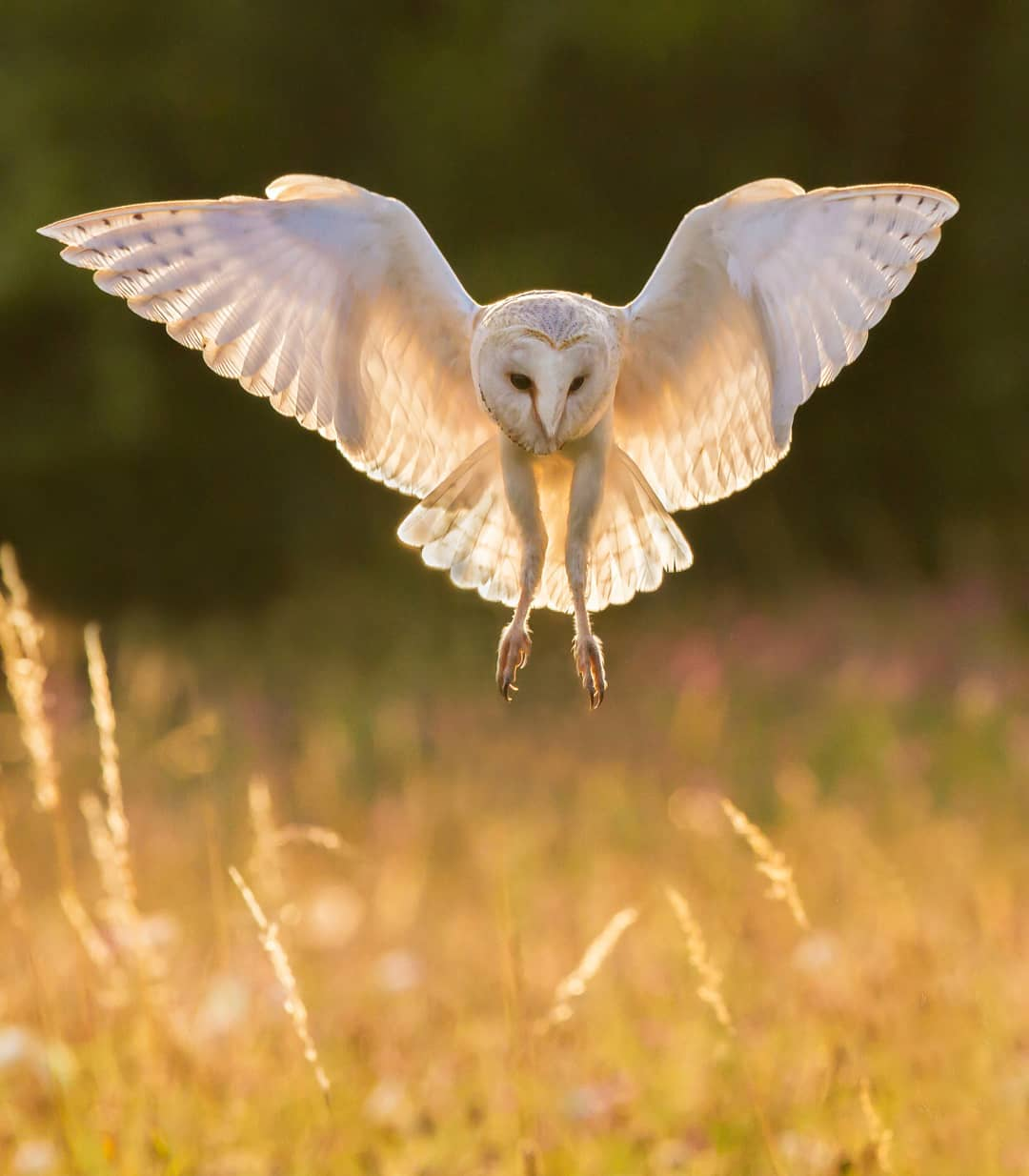 Barn owl at sunset         #mycanon #Can...