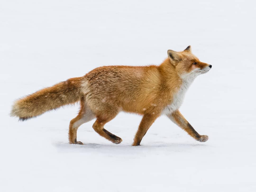 Fantastic Mr Fox....taken in Hokkaido, J...