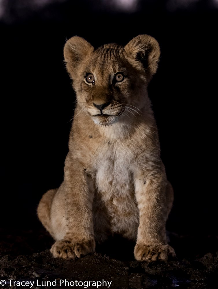 The beautiful cub of Zimanga