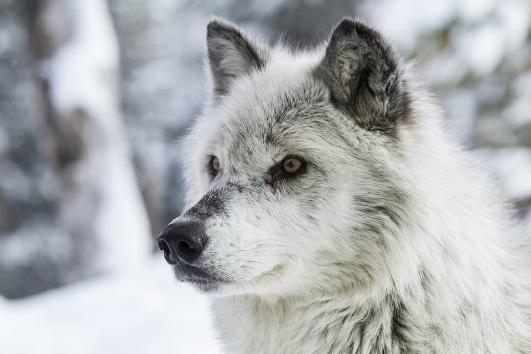 Wolf...taken in Yellowstone         #myc...